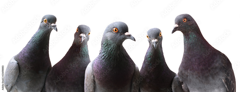 Fototapety, obrazy: Funny group of curious Pigeons isolated on white