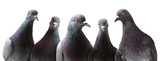 Fototapeta Animals - Funny group of curious Pigeons isolated on white