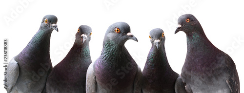 Photo  Funny group of curious Pigeons isolated on white