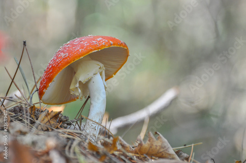 Photo Fly agaric (Amanita muscaria) mushroom in pine forest