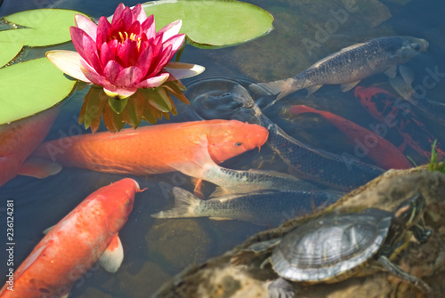 Photo Stands Water lilies image of fish, turtle and lotus in the water