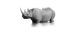 Black And White, Artistic Photo Of Black Rhinoceros, Diceros Bicornis, Standing In The Waterhole, Isolated On White Background With Only A Touch Of Environment. Endangered Animal, Etosha, Namibia.