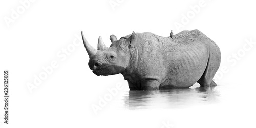 Fotobehang Neushoorn Black and white, artistic photo of black rhinoceros, Diceros bicornis, standing in the waterhole, isolated on white background with only a touch of environment. Endangered animal, Etosha, Namibia.