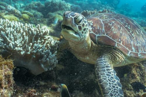 Foto op Plexiglas Schildpad Close encounter with green sea turtle feeding on sea grass in a shallow water