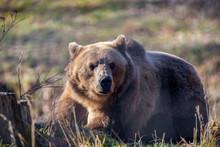 European Brown Bear Resting On...