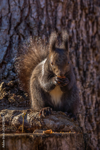 Printed kitchen splashbacks Red squirrel, Sciurus vulgaris, on a tree trunk eating a nut