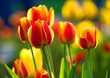 Blooming Botanical Tulip flowers - Tulipa - in spring season in a botanical garden