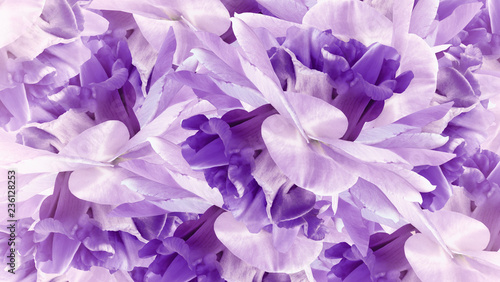 Floral purple background. Flowers white-purple irises close up. Flower composition. Nature.