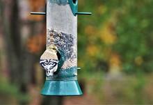 American Goldfinch (Spinus Tr...