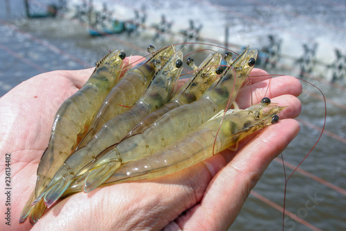 White shrimps or Litopenaeus vannamei on hand in close up view at Aquatic farm Canvas Print