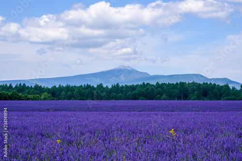 Garden Poster Lavender Champ de lavande en Provence, le Mont Ventoux en arrière-plan. Ciel bleu avec de beaux nuages.