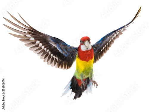parrot Rosella parrot in flight isolated