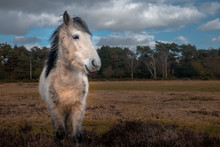 White Horse In New Forrest