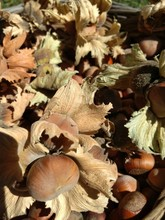 A Close View Of Bunch Of Hazelnuts (Corylus Avellana) Inside Their Husks Under The Sunlight In A Wicker Basket On A Green Lawn