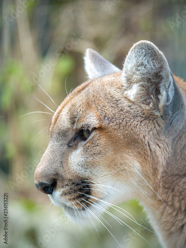 Fotobehang Puma A closeup portrait photograph of a wild puma mountain lion or cougar with soft cream colored fur and blurred bokeh background.