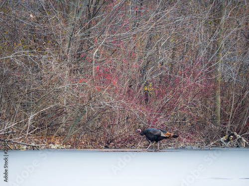 Fotografie, Obraz  A wildlife photograph of a bronze colored wild turkey walking across the frozen ice of a pond heading into the woods in Wisconsin