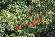 Golden Leaf On Nature Background.(Bauhinia Aureifolia K.&S.S.Larsen)