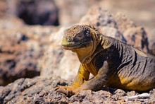 Land Iguana, Plazas Island, Galapagos