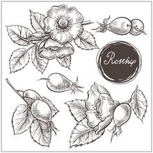 Canine Hip Dog Rose Hand Drawn Botanical Sketch