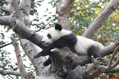 Stickers pour portes Panda Fluffy Panda Cub Enjoys Chilling Out on the Tree, China