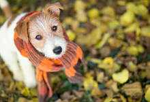 Cute Happy Jack Russell Pet Dog Puppy Wearing A Scarf - Christmas Card, Cold Winter Or Autumn Concept