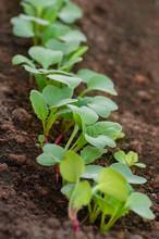 Rows Of Radish Seedlings In Th...