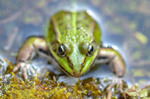 Tuinposter Kikker Green frog in the pond, springtime, funny head out of the water
