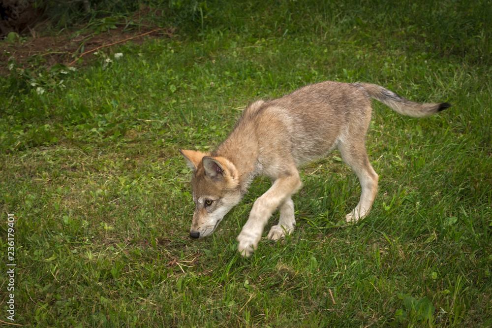 Grey Wolf (Canis lupus) Pup Walks Left Head Down
