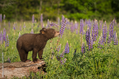 Black Bear Cub (Ursus americanus) Sniffs at Lupin Wallpaper Mural