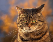 Grumpy Tabby Cat In Front Of Autumnal Trees