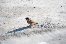 Rare Tree Sparrow On The Ground