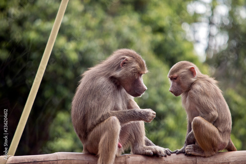 Photo sur Aluminium Singe two young baboons