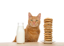 Adorable Orange Tabby Cat Sitting At A Wood Table With Tall Stack Of Dozen Chocolate Chip Cookies On One Side And A Bottle Of Fresh Milk On The Other. Traditional Holiday Snack.