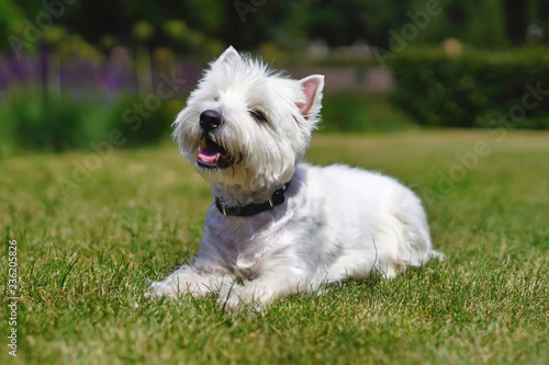 Foto  Happy West Highland White Terrier dog lying down on a green grass in summer