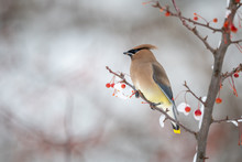 Cedar Waxwing In A Berry Tree