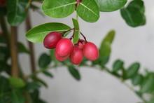 Carissa ,herb,healthy Concept,Carissa Carandas