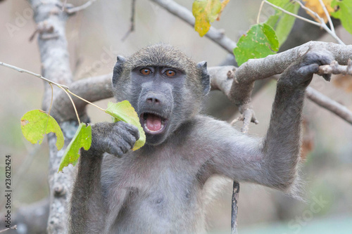 Photo  Chacma Baboon nipples on a leaf in South Africa