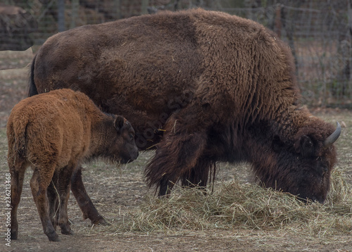 Aluminium Prints Bison Earth Toned Fur on a Bison Mother and Calf in a Field