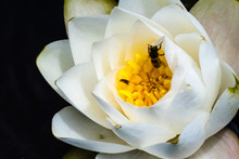 Close Up Of Large White Water Lily With Honey Bee Gathering Pollen; Dark Background