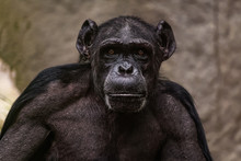 Close Up Of A Male Chimpanzee