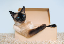 Poker Face. Sassy Muzzle Of Cat Boss. Siamese Cat In A Cardboard Box. Cat's Habits. Own Housing.