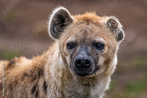 Foto auf AluDibond Hyane Close up of a spotted hyena