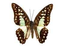 Image Of Common Jay Butterfly (Graphium Dosan) On White Background. Insect. Animal