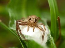 The Brown Crab Spider (Misumen...