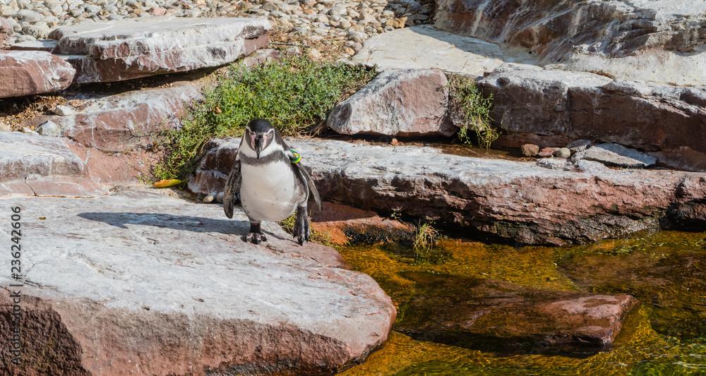 Panorama Watschelnder Pinguin