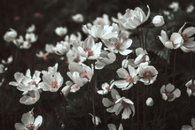 White Anemone Flowers In Black And White, Stylized