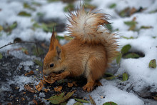 Close-up Portrait Young Squirrel Eats Nut In The Winter Park.