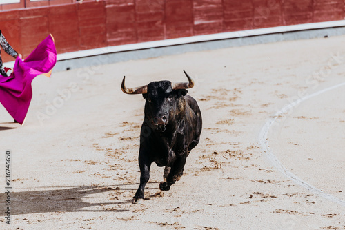 La pose en embrasure Corrida Fighting bull running in the arena. Bullring. Toro bravo