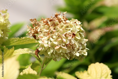 Partially Withered Hydrangea Or Hortensia Garden Shrub With Bunch Of
