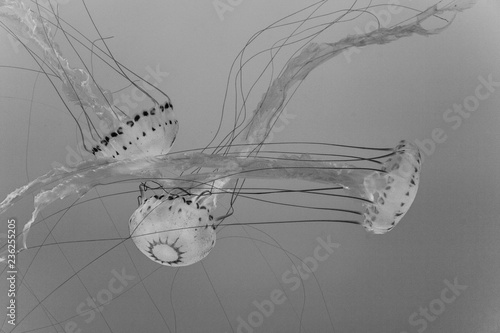 beautiful Jelly fishes in the ocean